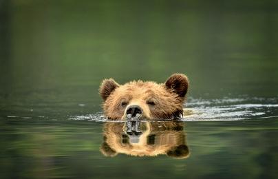 <h5>Khutzeymateen Grizzly Bears _D4S1872</h5>