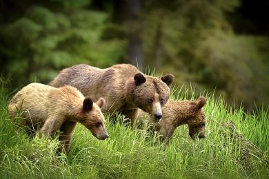 <h5>Khutzeymateen Grizzly Bears _D4S2318</h5>