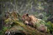 <h5>Khutzeymateen Grizzly Bears _D4S3048</h5>