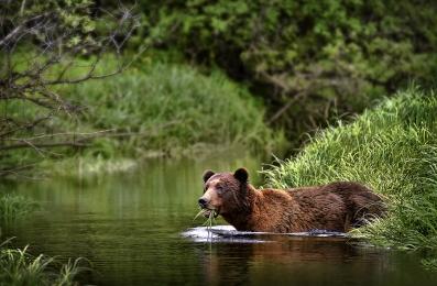 <h5>Khutzeymateen Grizzly Bears _D4S0379</h5>