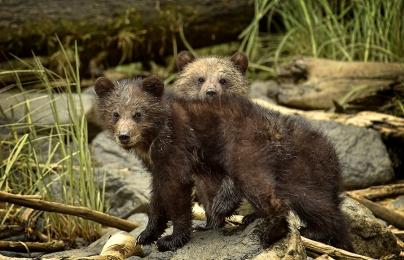 <h5>Khutzeymateen Grizzly Bears _D4S1799</h5>