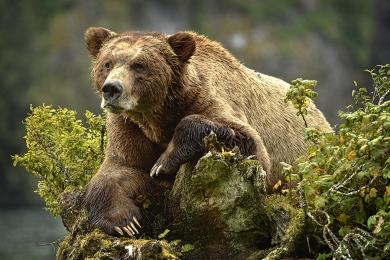 <h5>Khutzeymateen Grizzly Bears _D4S2902</h5>