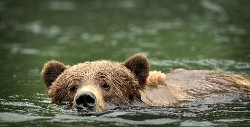 <h5>Khutzeymateen Grizzly Bears _D4S0565</h5>