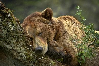 <h5>Khutzeymateen Grizzly Bears _D4S3080</h5>