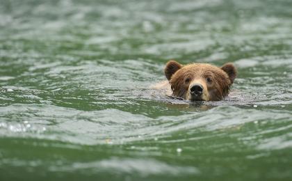 <h5>Khutzeymateen Grizzly Bears _D4S0628</h5>