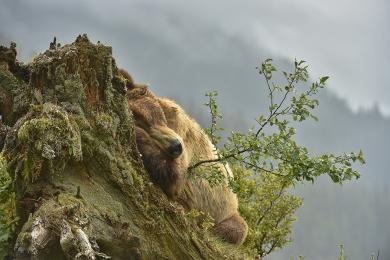 <h5>Khutzeymateen Grizzly Bears _D4S3126</h5>