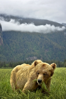 <h5>Khutzeymateen Grizzly Bears _D813352</h5>