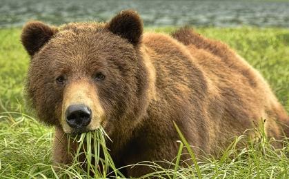 <h5>Khutzeymateen Grizzly Bears _D813122</h5>