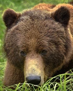 <h5>Khutzeymateen Grizzly Bears _D813070</h5>