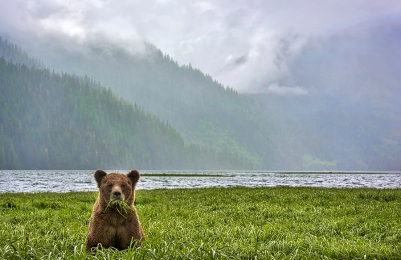 <h5>Khutzeymateen Grizzly Bears _D814571.</h5>