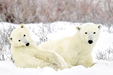 <h5>Churchill Polar Bears D5S2084 </h5>