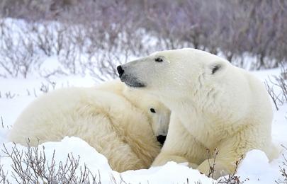 <h5>Churchill Polar bears D5S2178</h5>