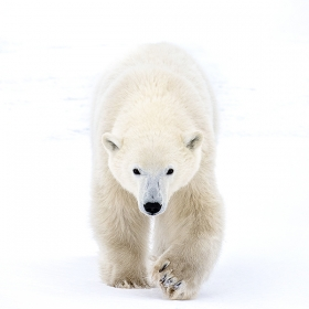 <h5>Polar Bear Cub MV8186</h5>