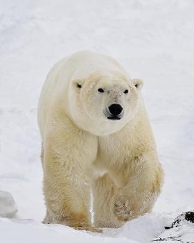 <h5>Churchill Polar Bear D5S0502 </h5>