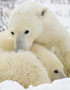 <h5>Churchill Polar Bears D5S2043 </h5>