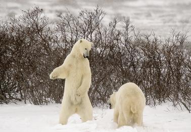 <h5>Polar Bears D4S1494</h5>