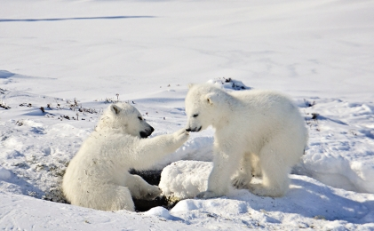 <h5>Polar Bear Cubs MV82652</h5>