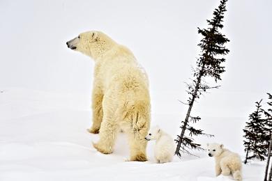 <h5>Polar Bears D4S6200</h5>