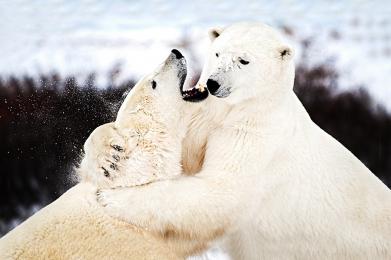 <h5>Polar Bear Sparing</h5>