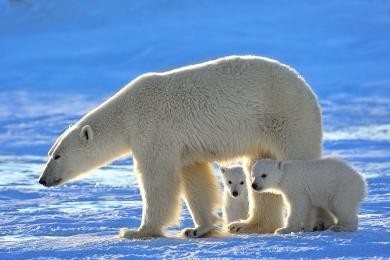 <h5>Polar Bear D4S4996</h5>