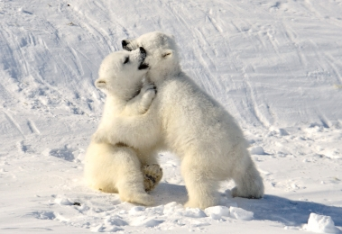 <h5>Polar bear cubs 82598 </h5>