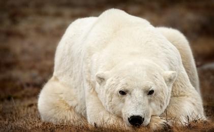 <h5>Polar Bear 2278</h5>