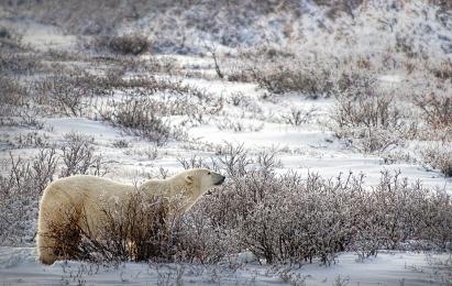 <h5>Polar Bear V3X4458</h5>