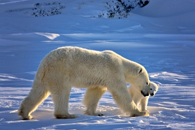 <h5>Polar Bears_D4S4492</h5>