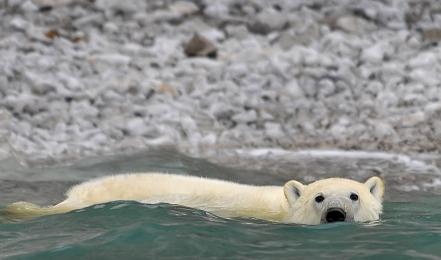 <h5>Polar Bear_V3X4310</h5>
