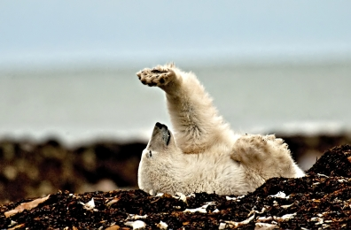 <h5>Polar Bear 1692</h5>