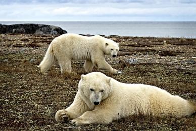 <h5>Churchill Polar Bears 4640</h5>