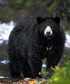 <h5>Nunavik Black Bear 46021</h5>