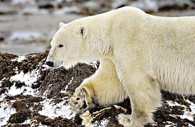 <h5>Polar Bear 0291</h5>