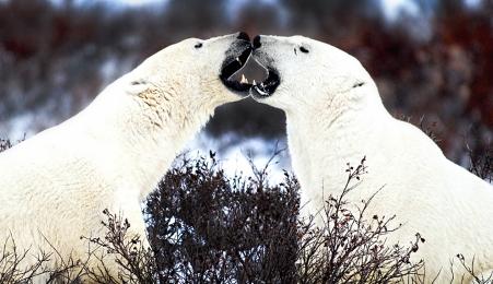 <h5>Polar Bears VAL4935</h5>