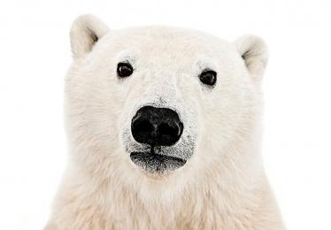 <h5>Polar Bear Cub 5349</h5>