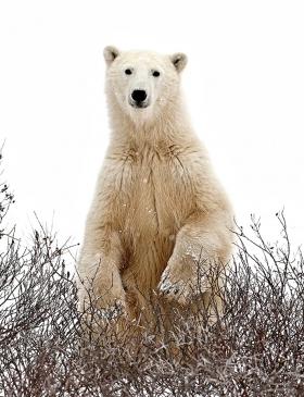 <h5>Polar Bear 904</h5>