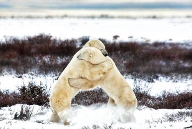 <h5>Churchill Polar Bears 7024</h5>