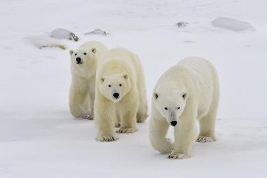 <h5>Polar Bears_MVP7509.</h5>
