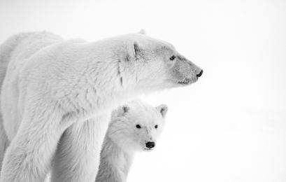 <h5>Polar Bear MVP8199</h5>