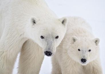 <h5>Polar Bear MVP8205</h5>