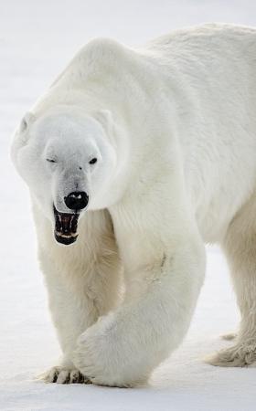 <h5>Polar Bear_D850469</h5>