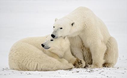 <h5>Polar Bears D858807.</h5>
