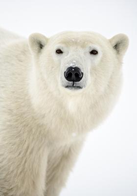 <h5>Polar Bear_D850039</h5>
