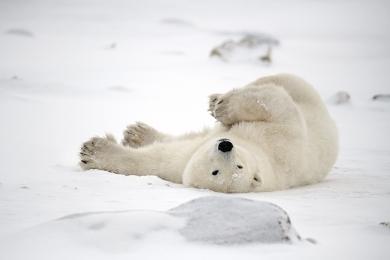 <h5>Polar Bear D858654</h5>