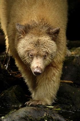 <h5>Spirit Bear D858763</h5>