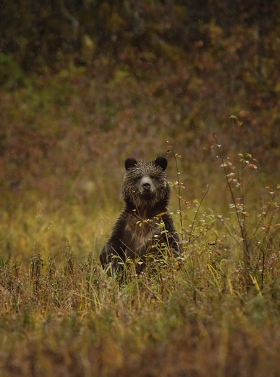 <h5>Grizzly Cub D850337</h5>
