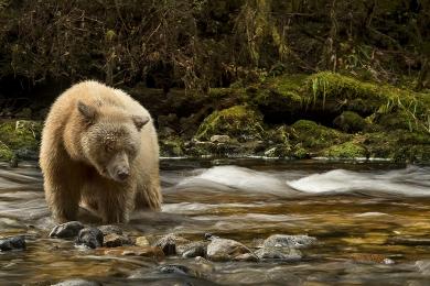 <h5>Spirit Bear_D52086</h5>