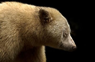 <h5>Spirit Bear D520089 </h5>