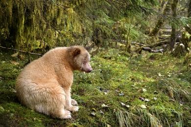 <h5>Spirit Bear D521218</h5>