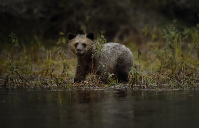 <h5>Grizzly cub</h5>